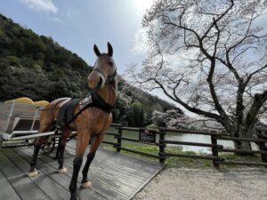 現存する銀の馬車道 桜並木